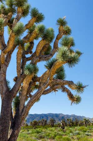 Joshua Tree National Park Jumbo Rocks in Yucca valley Mohave Desert California - USA Stock Photo