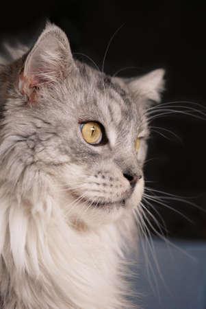 kisser: Silver-gray 26 lbs Maine-Coon breeding-tomcat.