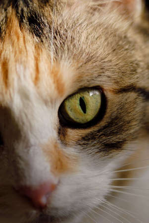 kisser: Extreme macro of a tricolored house cat. Stock Photo