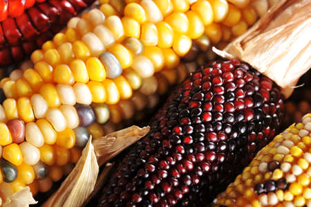 mealie: macro detail of some colored maize-cobs for thanksgiving