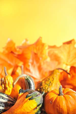 cucurbit: pumpkins in front of highlighted orange oak leaves