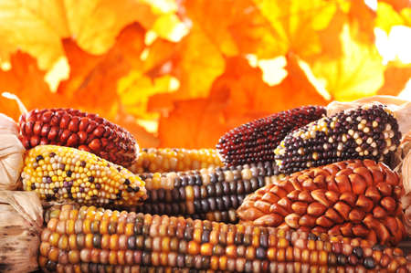 corn: macro detail of some colored maizecobs for thanksgiving in front of autumn foliage Stock Photo