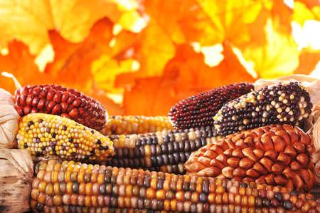 maiz: macro detalle de algunas maizecobs colores de acci�n de gracias en frente de follaje de oto�o