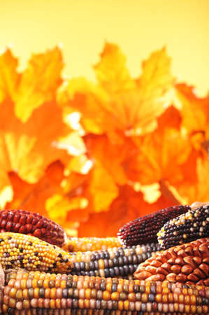 macro detail of some colored maize-cobs for thanksgiving in front of autumn foliage Banco de Imagens