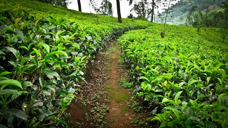 Highland tea plantation on the hill  photo