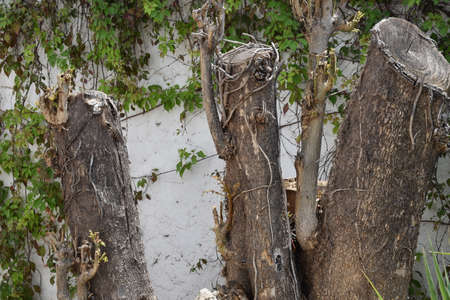 Trunks in the foreground with white wall and creeper background