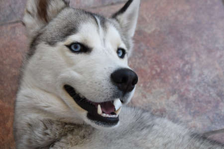 Close up of huski dog head with vintage ceramic background