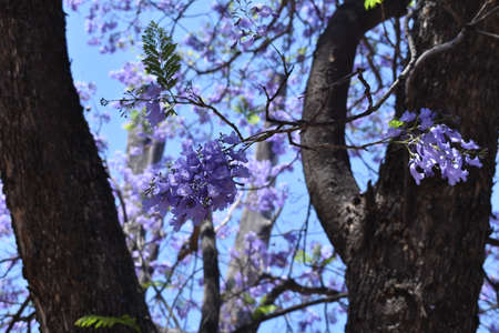 Purple bougainvillea tree trunks with blue sky background Banque d'images - 134806617