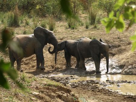 Elephants family at Waterhole, Burkina Faso, West Africa Stock Photo