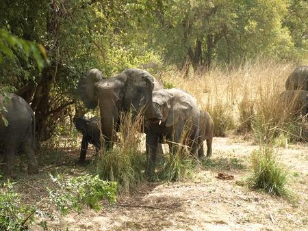 Elephants family in the bush, Burkina Faso, West Africa