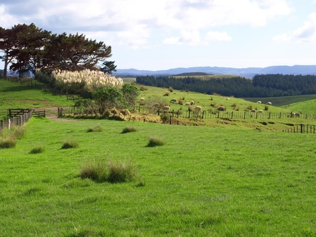 New Zealand landscape, sheep with green grass   Photo was taken in New Zealand, North Island  Stock Photo