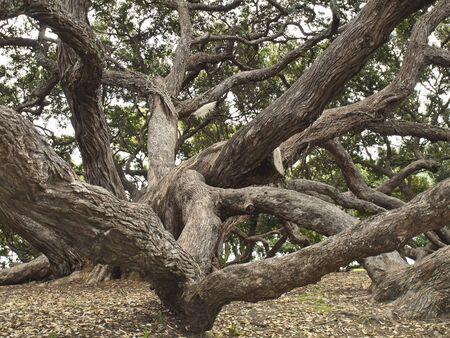 Pohutukawa tree at Dove Myer Robinson Park, Auckland, New Zealand