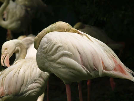 The Greater Flamingo  Phoenicopterus roseus  Stock Photo
