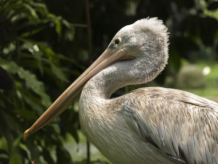 pelecanus: The Great White Pelican (Pelecanus onocrotalus)