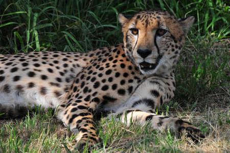 Cheetah from the Ann van Dyk Cheetah Centre in South Africa. photo