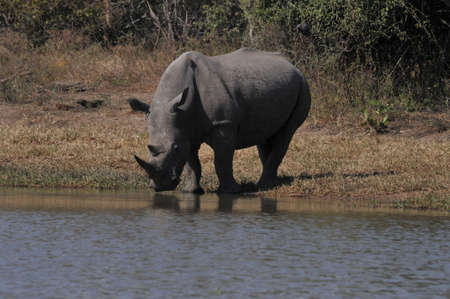 White Rhino agua potable en el Parque Kruger, Sud�frica photo