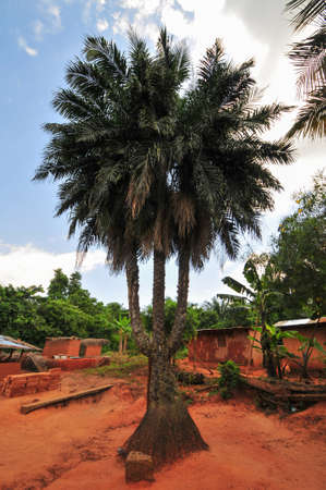 Triple Stalk Palm Tree in Yilo Krobo District, Ghana  The distinctive tree is a local attraction for the village  Stok Fotoğraf