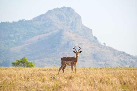 Lone male Gazelle in Mlilwane Game Reserve  Stock Photo