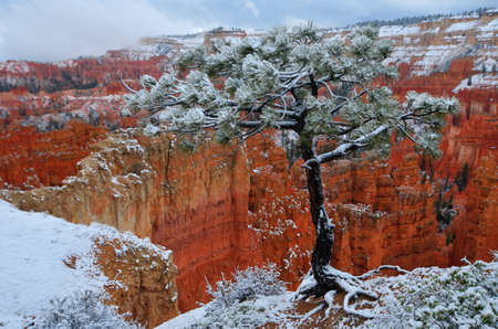 Bryce Canyon foreshadowed by a tree covered in snow  photo