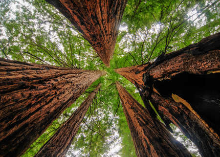 Sequoia Trees in Big Basin Redwoods State Park Stock Photo