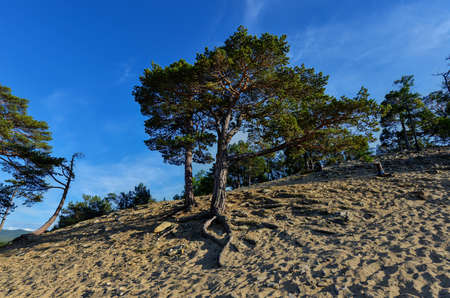 Tree along Sandy Beach of Olkhon Island by Lake Baikal, Russia  photo
