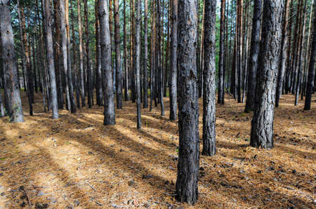 Siberian Pine Tree Forest at the beginning of Autumn  Ground scattered with pine cones and dry needles  photo