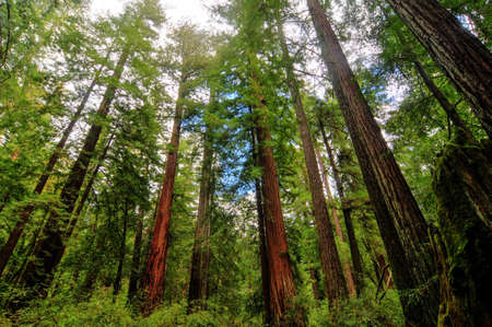 redwood: Sequoia Trees in Big Basin Redwoods State Park Stock Photo