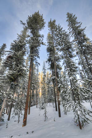 greys: Pine trees in fresh powder snow in Wyoming along Greys River near Yellowstone National Park.
