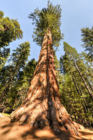 Giant Sequoia Trees in Sequioa National Park, California. photo