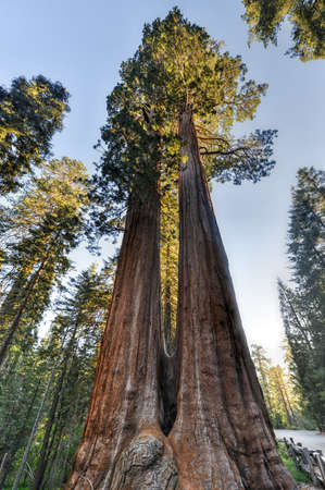 merged: Merged Giant Sequoia Trees in Sequioa National Park, California. Stock Photo