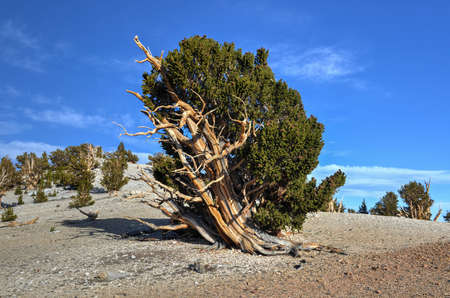 bristlecone: Ancient Bristlecone Pine Forest - a protected area high in the White Mountains in Inyo County in eastern California.
