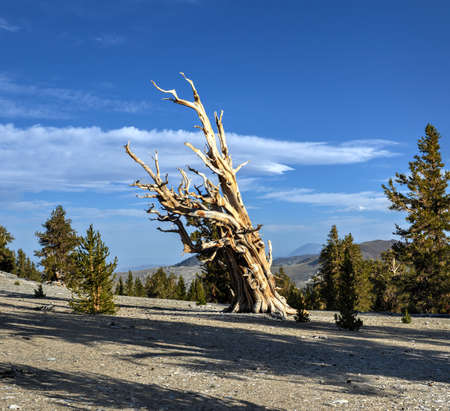 Ancient Bristlecone Pine Forest - a protected area high in the White Mountains in Inyo County in eastern California. photo