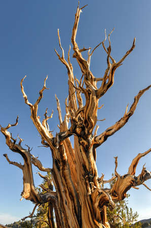 inyo national forest: Ancient Bristlecone Pine Forest - a protected area high in the White Mountains in Inyo County in eastern California.