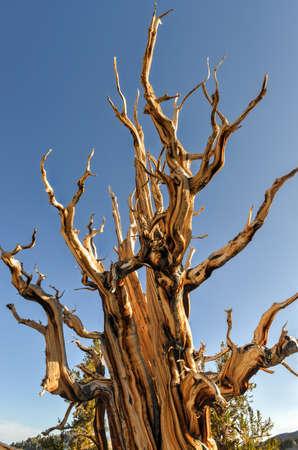 inyo national forest: Ancient Bristlecone Pine Forest - un �rea protegida de alta en las Monta�as Blancas en el condado de Inyo, en el este de California. Foto de archivo