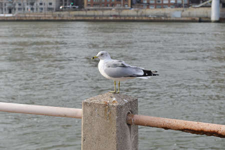 roosevelt: White Seagull in Roosevelt Island, New York.