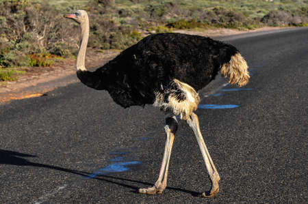cape of good hope: Ostrich walking along the road of the Cape of Good Hope, South Africa. Stock Photo