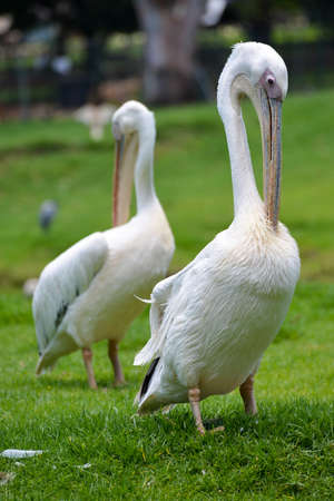 johannesburg: Pelican at the Joburg Zoo in Johannesburg, South Africa.