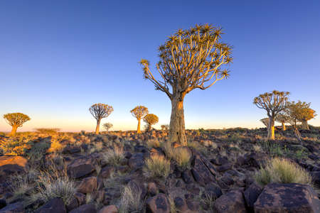 quiver: Quiver Tree Forest outside of Keetmanshoop, Namibia at dawn.