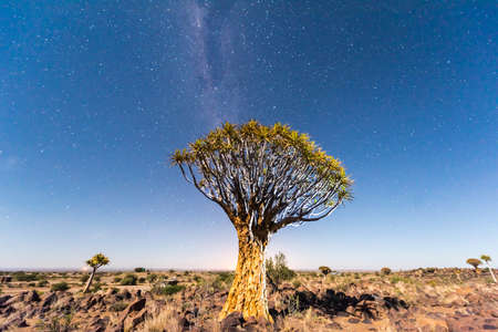 quiver: Quiver Tree Forest outside of Keetmanshoop, Namibia at night.