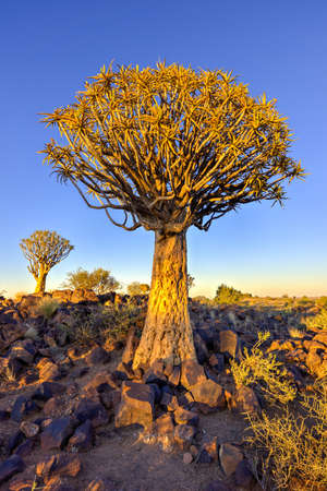 dichotoma: Quiver Tree Forest outside of Keetmanshoop, Namibia at dawn.