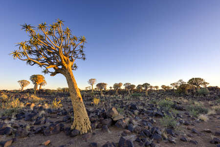 Quiver Tree Forest outside of Keetmanshoop, Namibia at dawn.