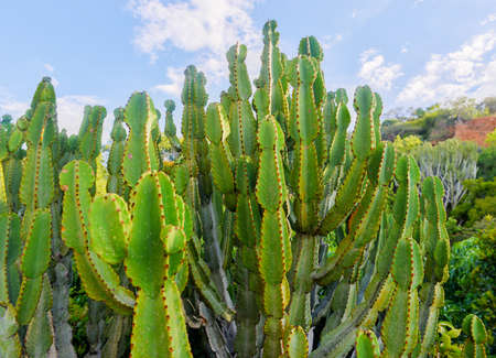 northwest africa: Cactus up close growing in South Africa