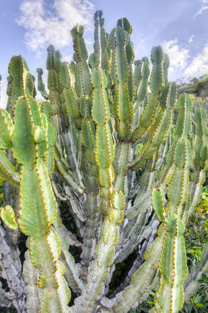 Cactus up close growing in South Africa