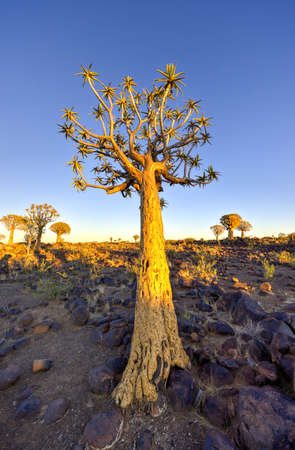 quiver: Kokerboomwoud buiten Keetmanshoop, Namibië bij zonsopgang. Stockfoto