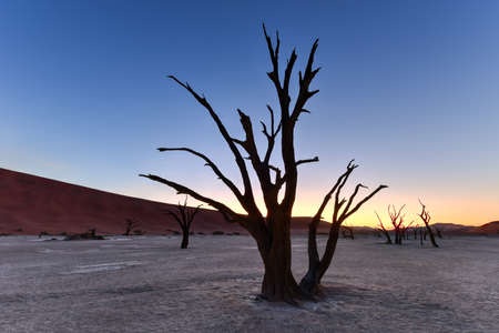 large tree: Dead Vlei at dusk in the southern part of the Namib Desert, in the Namib-Naukluft National Park of Namibia. Stock Photo