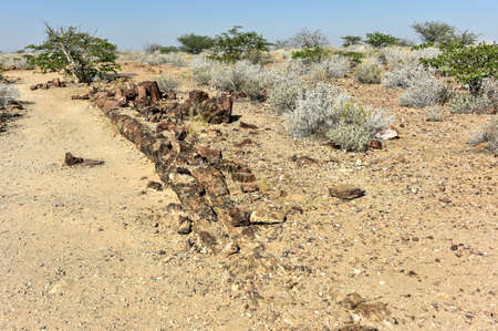 spermatophyte: 280 million years old Petrified forest, outside of Khorixas, Namibia. Stock Photo