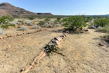 mineralized: Welwitschia mirabilis in the 280 million years old Petrified forest, outside of Khorixas, Namibia. Stock Photo
