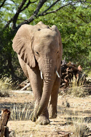 uniquely: African bush elephants (Loxodonta africana) that have made their homes in the Namib. Desert dwelling elephants are uniquely adopted to extremely dry and sandy conditions.