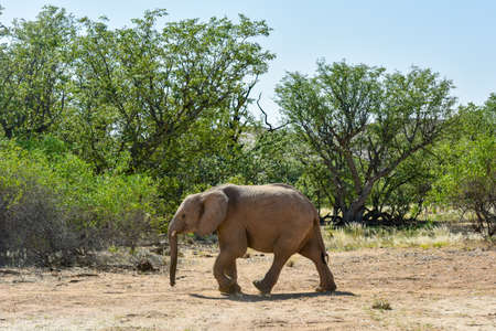 African bush elephants (Loxodonta africana) that have made their homes in the Namib. Desert dwelling elephants are uniquely adopted to extremely dry and sandy conditions.