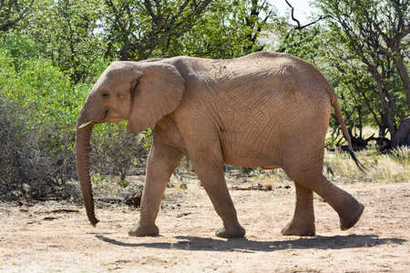 uniquely: African bush elephant (Loxodonta africana) that have made their homes in the Namib. Desert dwelling elephants are uniquely adopted to extremely dry and sandy conditions.